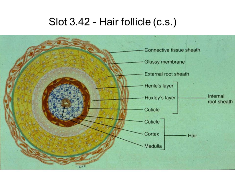 Slot 3.42 - Hair follicle (c.s.)