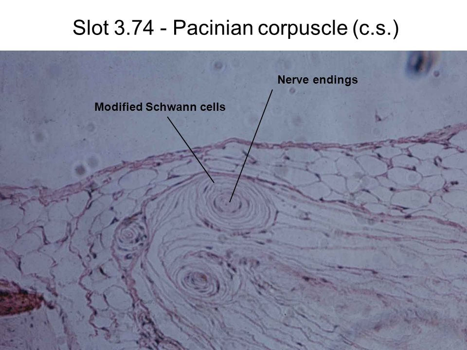 Slot 3.74 - Pacinian corpuscle (c.s.) Nerve endings Modified Schwann cells