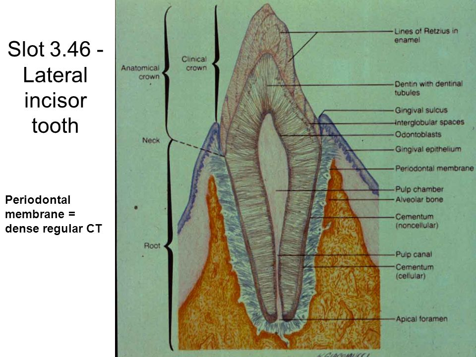 Slot 3.46 - Lateral incisor tooth Periodontal membrane = dense regular CT
