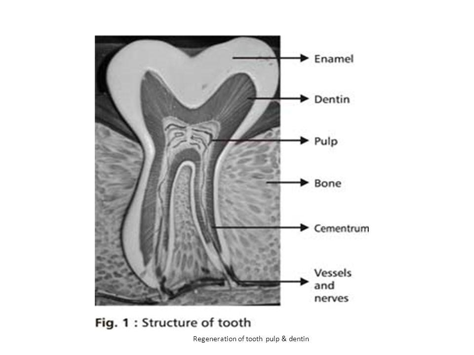 Regeneration of tooth pulp & dentin