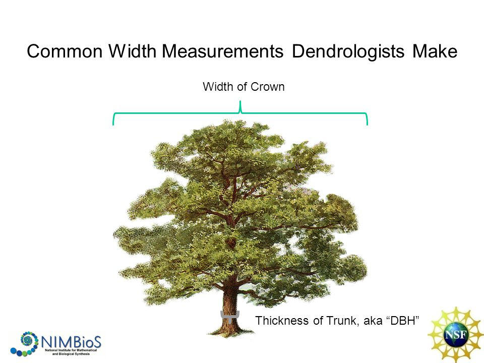 Common Width Measurements Dendrologists Make Width of Crown Thickness of Trunk, aka DBH