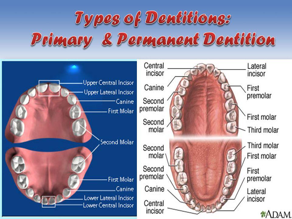Deciuous Set of Teeth.: – 2 incisors, – 1 canine, – 2 molars in each quadrant Permanent Set of Teeth.: – 2 incisors, – 1 canine, – 2 premolars, – 3 molars in each quadrant