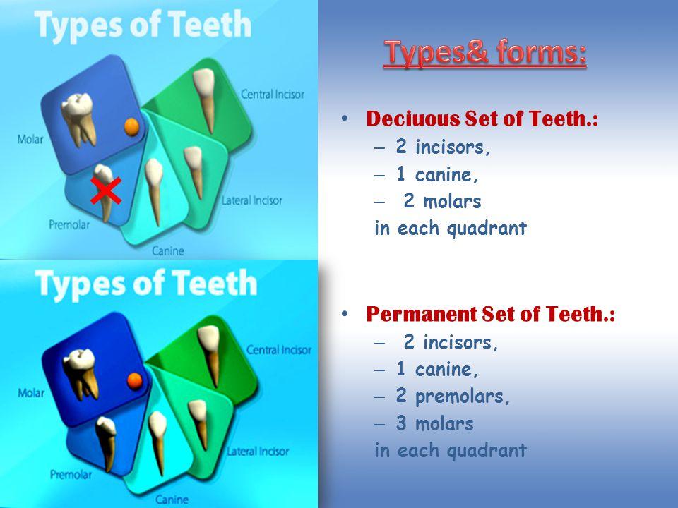 Deciuous Set of Teeth.: – 2 incisors, – 1 canine, – 2 molars in each quadrant Permanent Set of Teeth.: – 2 incisors, – 1 canine, – 2 premolars, – 3 mo