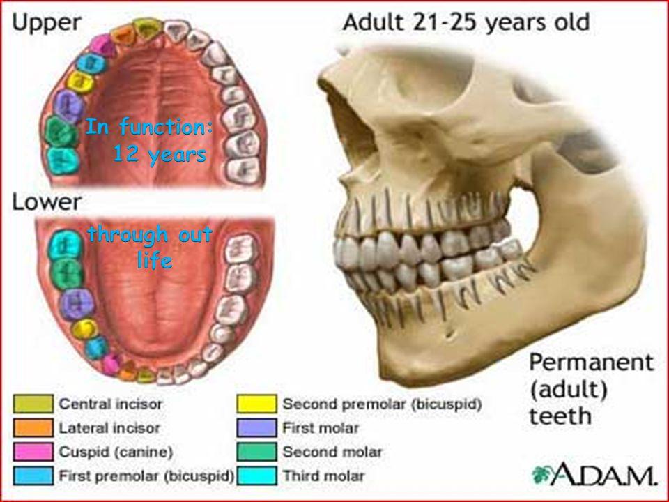 Labial Apical Lingual Distal Apical Mesial Incisal