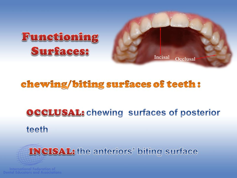 Enamel Alveolar Bone Pulp Chamber Dentin Odontoblast Layer Gingiva Periodontal Ligament Cementum Pulp Canals Apical Foramen