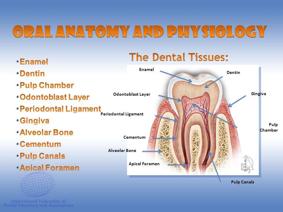 Anatomic Crown Anatomic Root Pulp Chamber