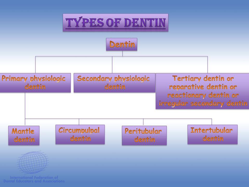 Dentin Pulp Tubule Fluid Nerve Fibers Odontoblast Cell