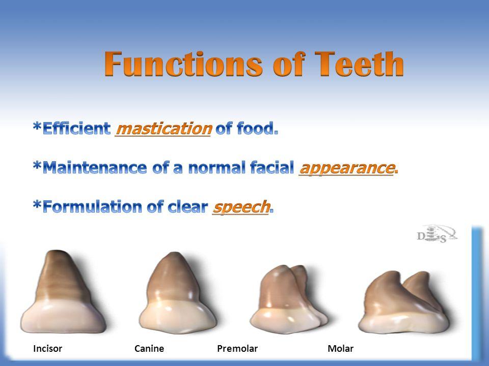 Incisor Canine Premolar Molar