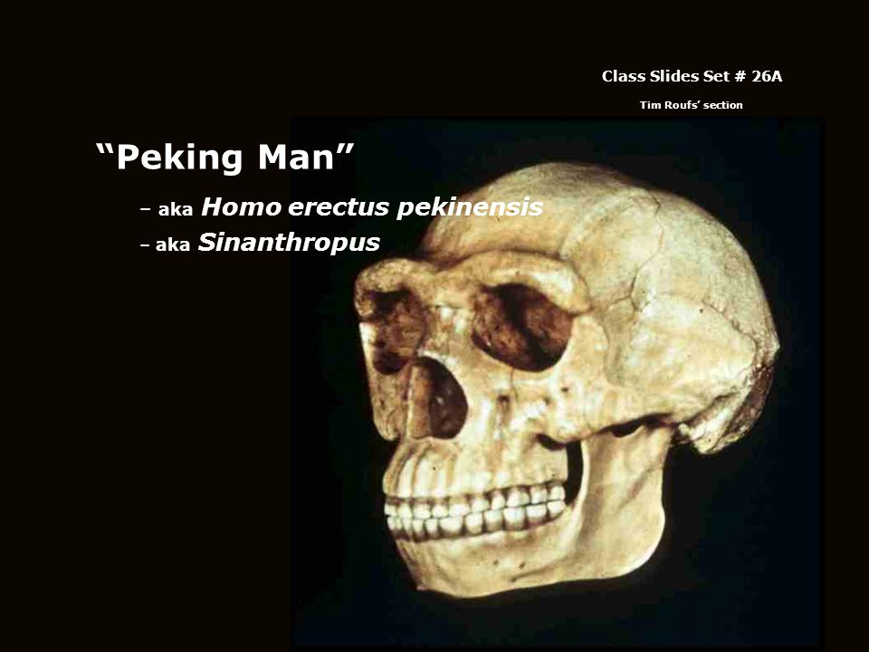 Peking Man – aka Homo erectus pekinensis – aka Sinanthropus Class Slides Set # 26A Tim Roufs' section