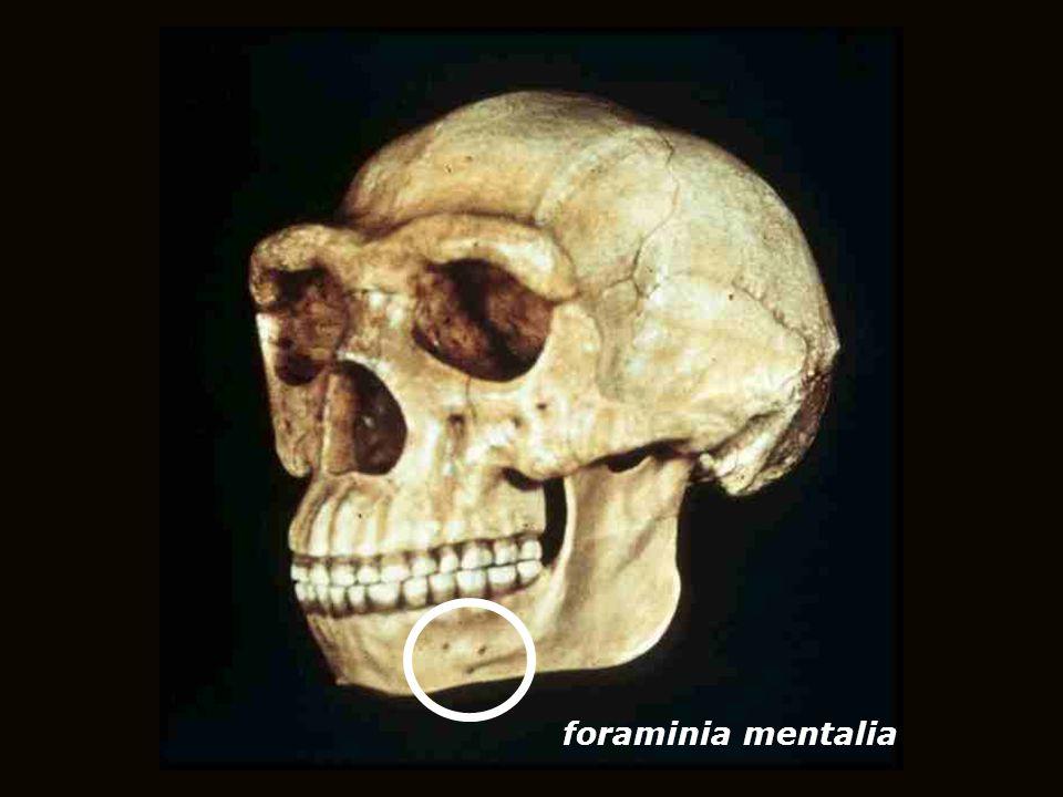 foraminia mentalia