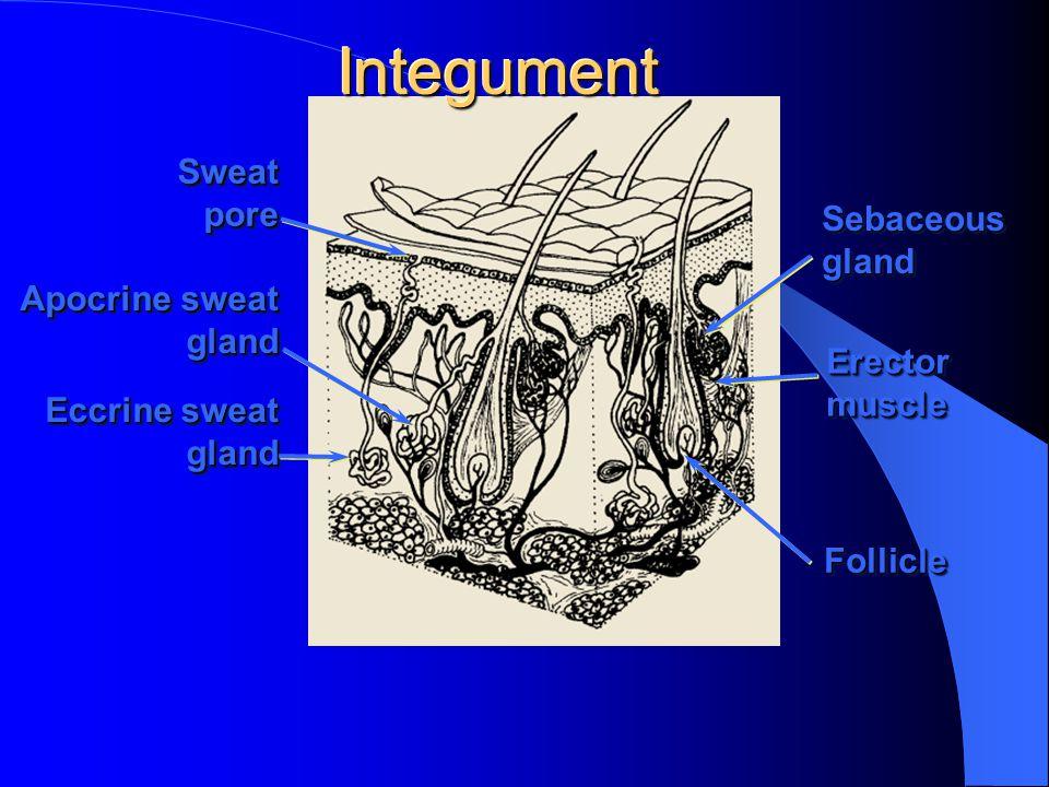 IntegumentIntegument Eccrine sweat gland gland SweatporeSweatpore SebaceousglandSebaceousgland ErectormuscleErectormuscle FollicleFollicle Apocrine sweat gland gland
