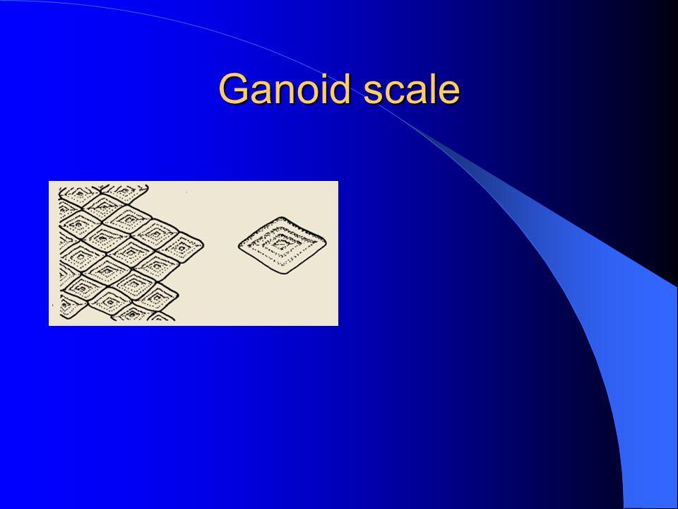 Ganoid scale