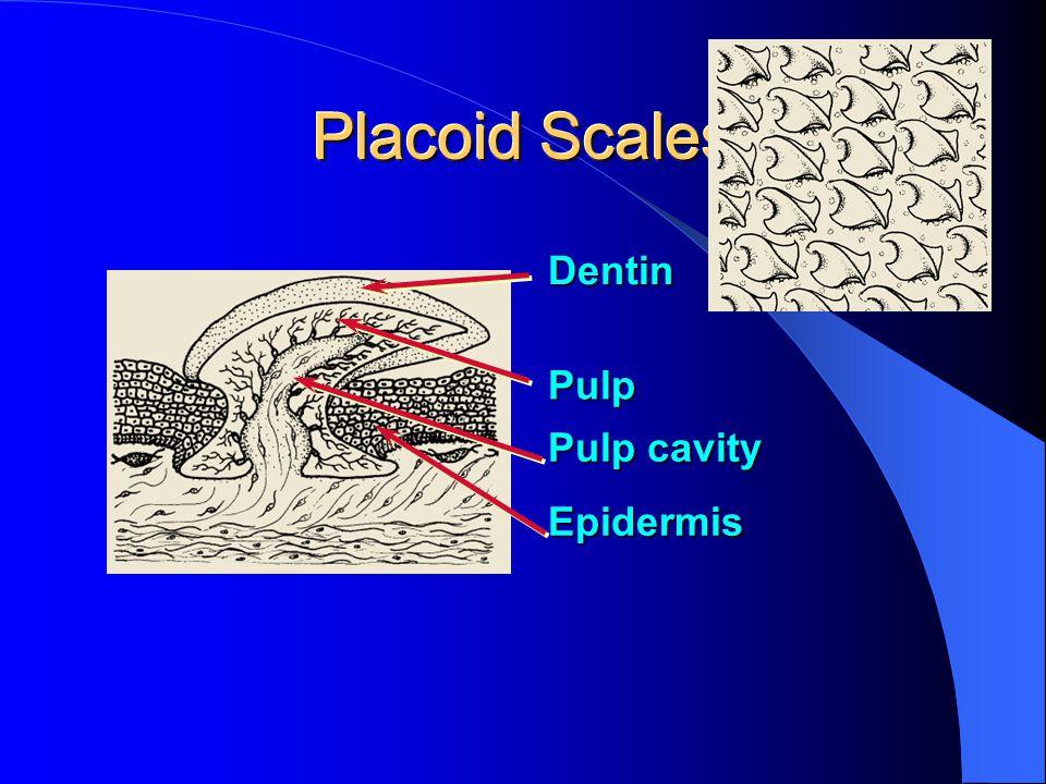 Placoid Scales Dentin Pulp Pulp cavity Epidermis