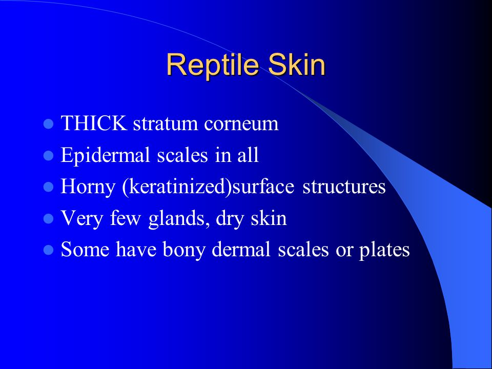 Reptile Skin THICK stratum corneum Epidermal scales in all Horny (keratinized)surface structures Very few glands, dry skin Some have bony dermal scales or plates