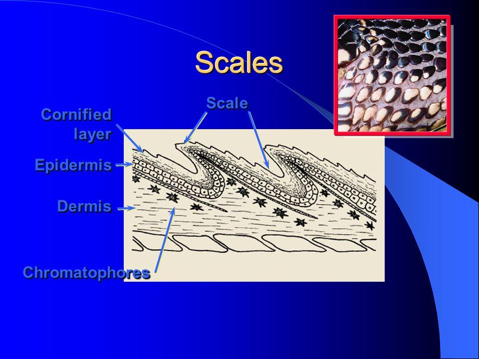 ScalesScales EpidermisEpidermis DermisDermis ScaleScale CornifiedlayerCornifiedlayer ChromatophoresChromatophores