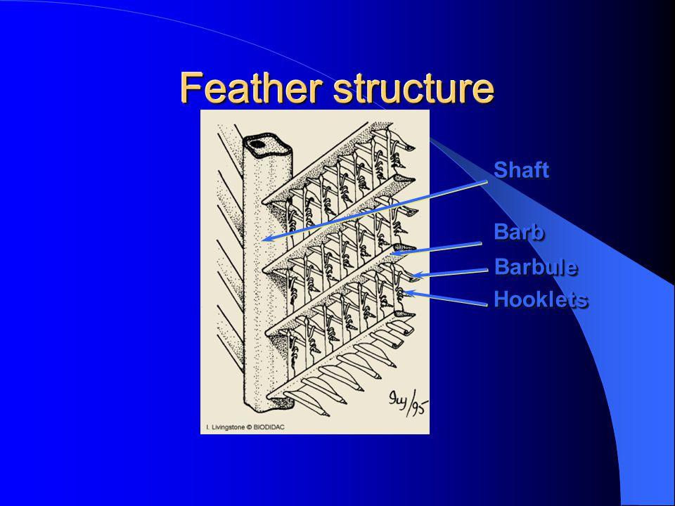 Feather structure ShaftShaft BarbBarb HookletsHooklets BarbuleBarbule
