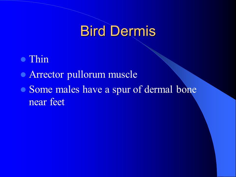 Bird Dermis Thin Arrector pullorum muscle Some males have a spur of dermal bone near feet