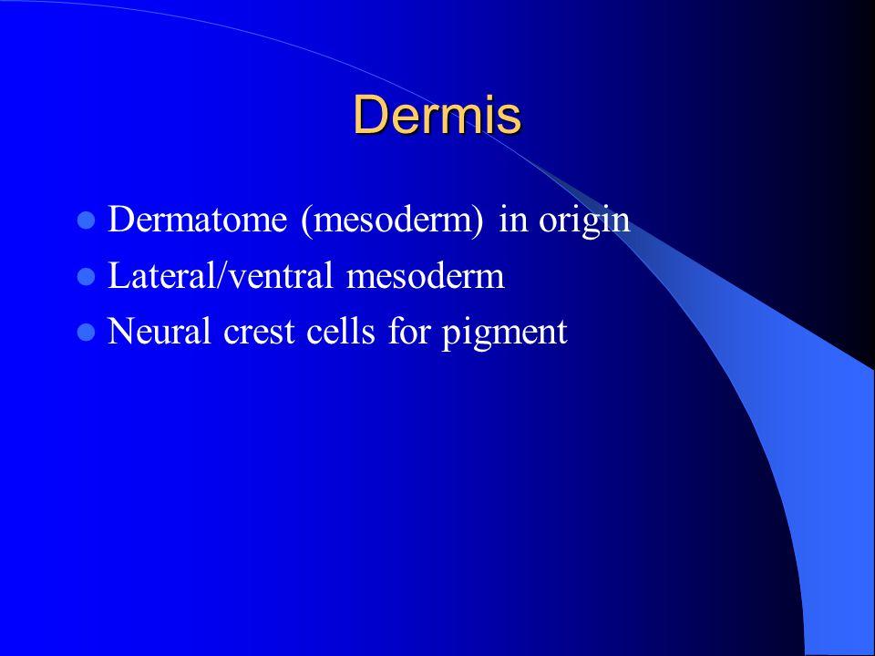 Dermis Dermatome (mesoderm) in origin Lateral/ventral mesoderm Neural crest cells for pigment