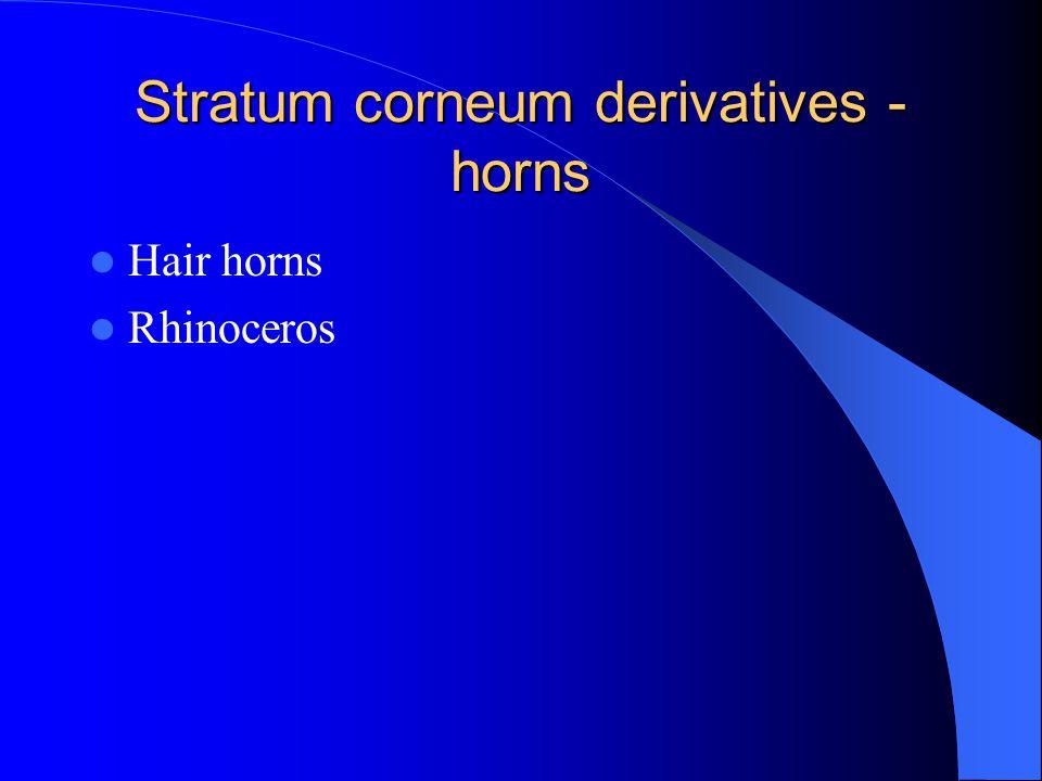 Stratum corneum derivatives - horns Hair horns Rhinoceros