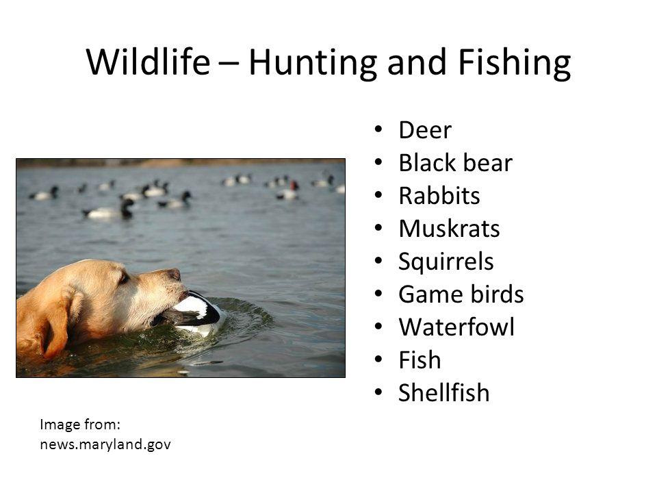 Wildlife – Hunting and Fishing Deer Black bear Rabbits Muskrats Squirrels Game birds Waterfowl Fish Shellfish Image from: news.maryland.gov