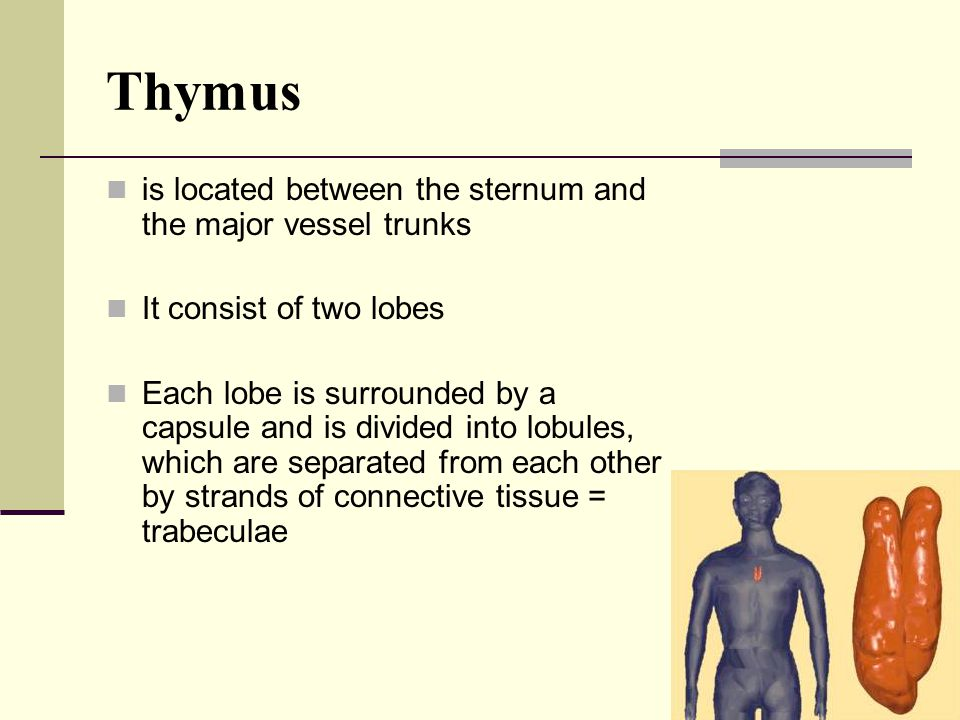 Thymus is located between the sternum and the major vessel trunks It consist of two lobes Each lobe is surrounded by a capsule and is divided into lob