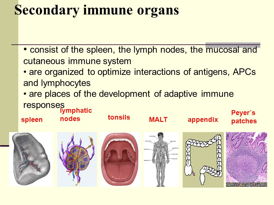 Secondary immune organs spleen lymphatic nodes tonsils appendix Peyer´s patches MALT consist of the spleen, the lymph nodes, the mucosal and cutaneous