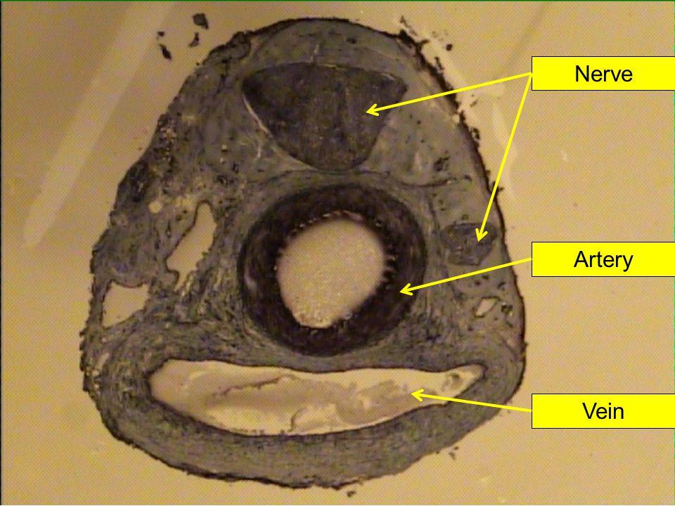 Artery Vein Nerve