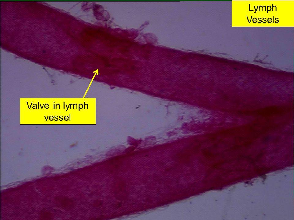 Lymph Vessels Valve in lymph vessel