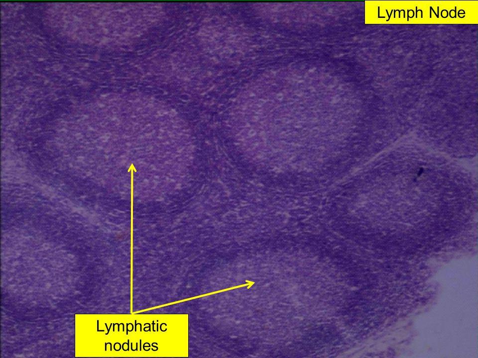Lymph Node Lymphatic nodules