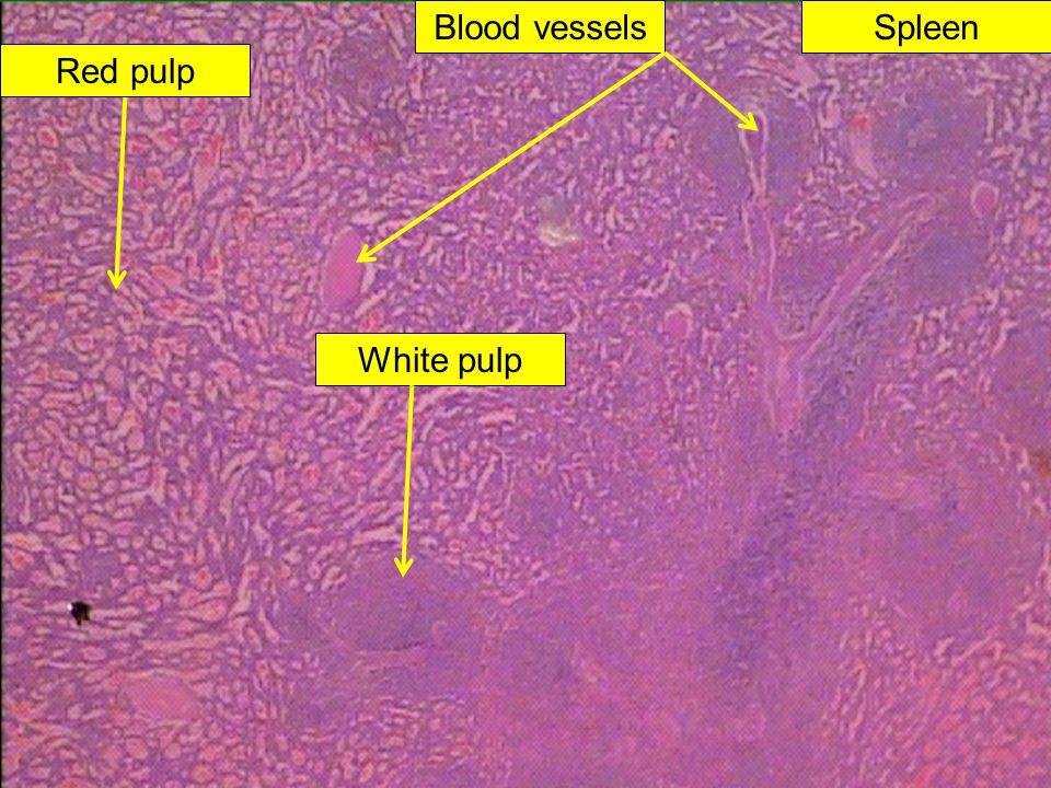 Spleen Red pulp White pulp Blood vessels