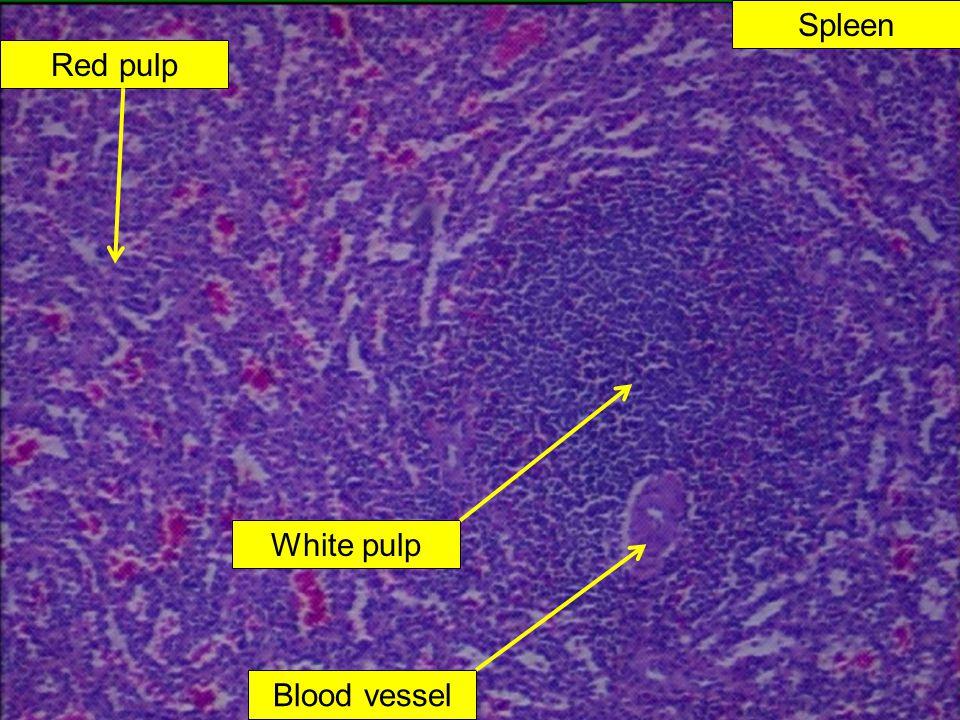 Spleen Red pulp White pulp Blood vessel