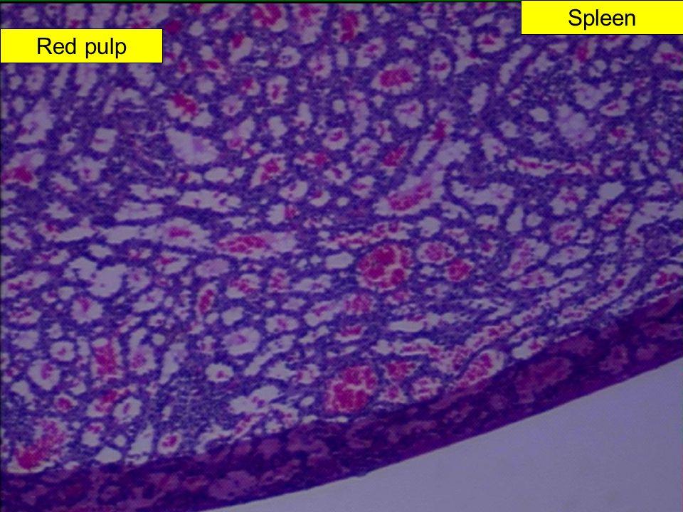 Spleen Red pulp