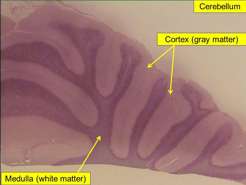 Cerebellum Cortex (gray matter) Medulla (white matter)