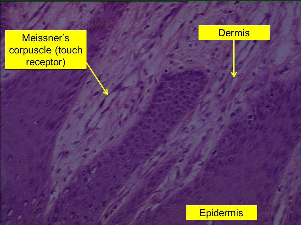 Meissner's corpuscle (touch receptor) Dermis Epidermis