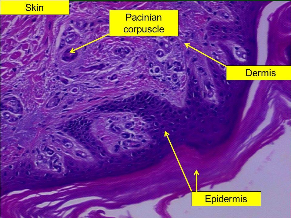 Skin Pacinian corpuscle Epidermis Dermis