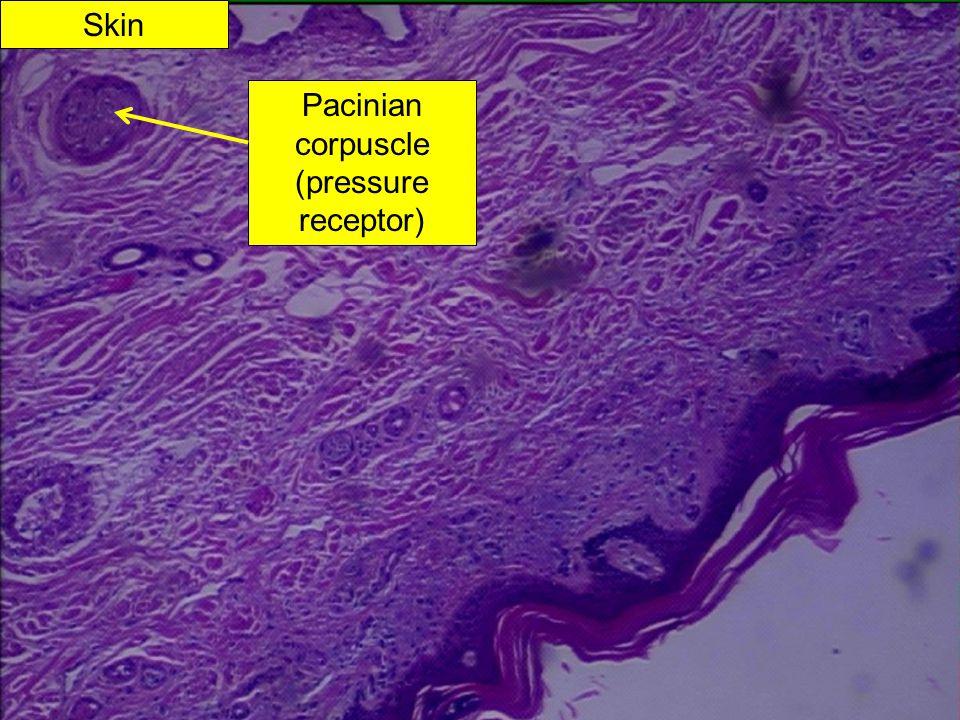 Skin Pacinian corpuscle (pressure receptor)