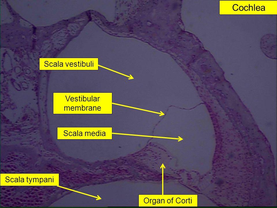 Cochlea Vestibular membrane Scala media Scala tympani Scala vestibuli Organ of Corti
