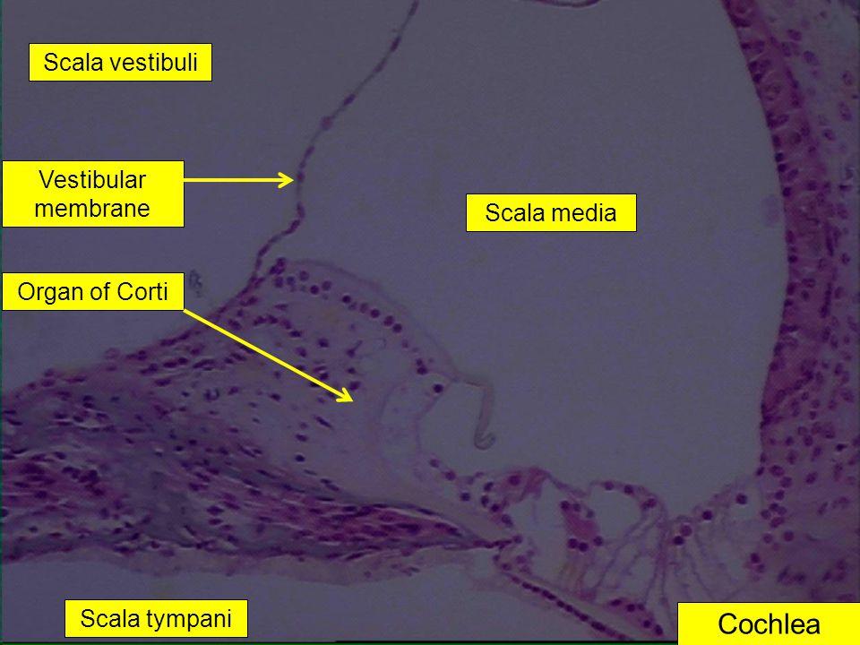 Cochlea Scala media Scala vestibuli Scala tympani Vestibular membrane Organ of Corti