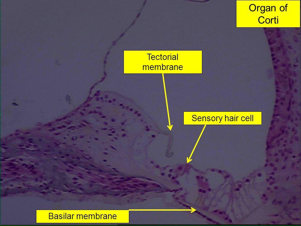 Basilar membrane Sensory hair cell Tectorial membrane