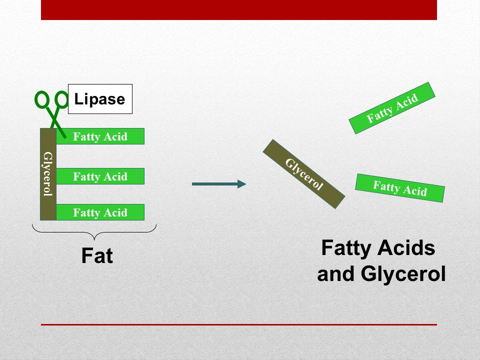 Glycerol Fatty Acid Glycerol Fatty Acid Lipase Fat Fatty Acids and Glycerol