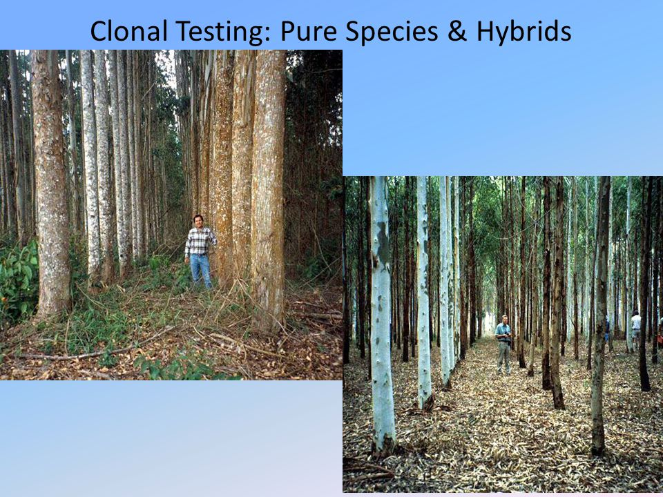 Clonal Testing: Pure Species & Hybrids