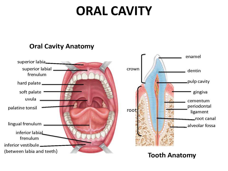 General Oral Anatomy