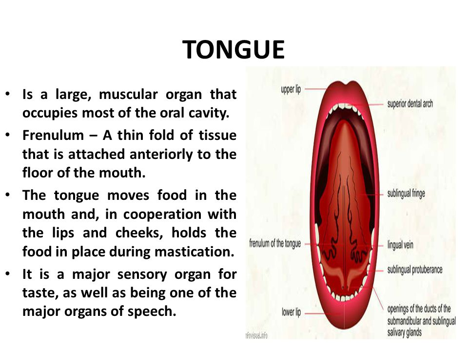 The tongue primary functions include: – Mechanical processing – Assistance in chewing and swallowing – Sensory analysis by touch, temperature, and taste receptors