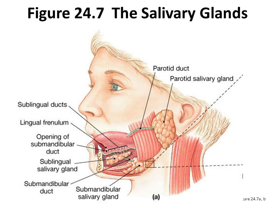 Figure 24.7 The Salivary Glands Figure 24.7a, b
