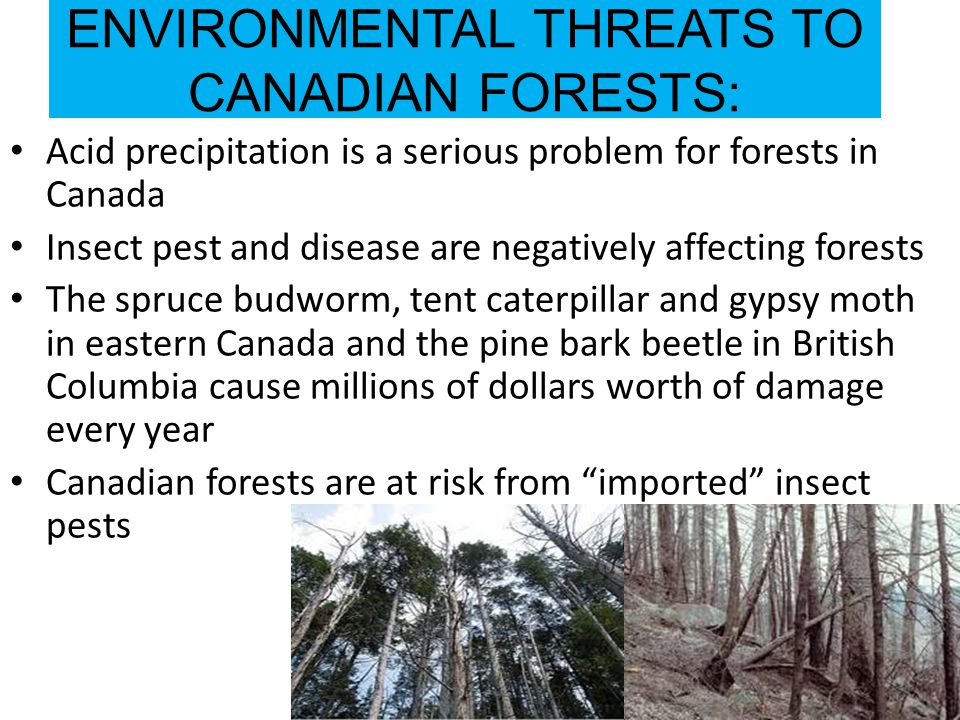 ENVIRONMENTAL THREATS TO CANADIAN FORESTS: Acid precipitation is a serious problem for forests in Canada Insect pest and disease are negatively affecting forests The spruce budworm, tent caterpillar and gypsy moth in eastern Canada and the pine bark beetle in British Columbia cause millions of dollars worth of damage every year Canadian forests are at risk from imported insect pests