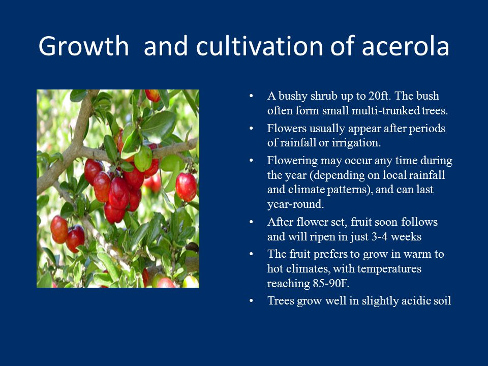 Growth and cultivation of acerola A bushy shrub up to 20ft.