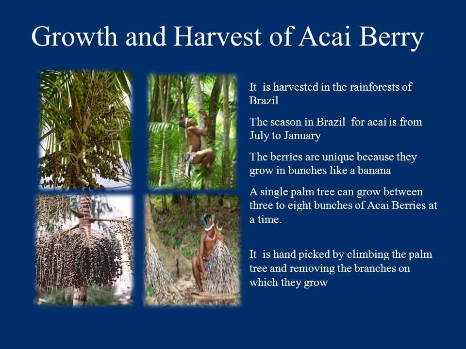 Growth and Harvest of Acai Berry It is harvested in the rainforests of Brazil The season in Brazil for acai is from July to January The berries are unique because they grow in bunches like a banana A single palm tree can grow between three to eight bunches of Acai Berries at a time.