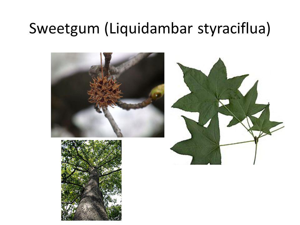 Sweetgum (Liquidambar styraciflua)