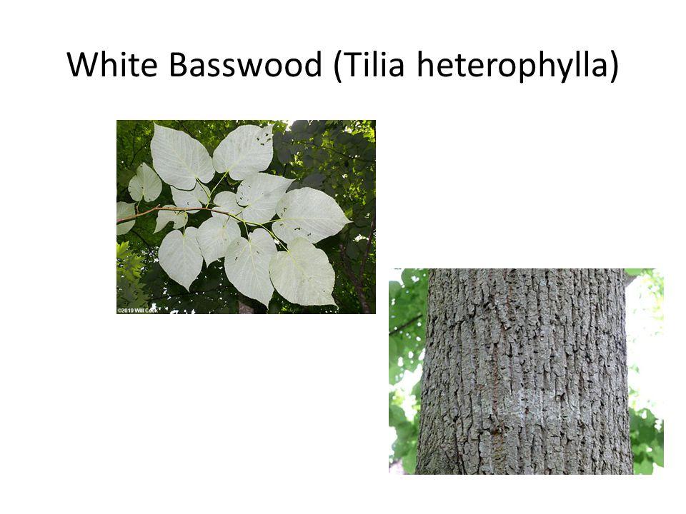 White Basswood (Tilia heterophylla)