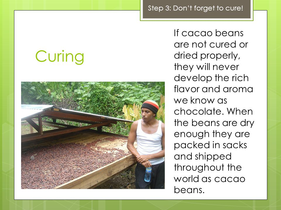 Curing If cacao beans are not cured or dried properly, they will never develop the rich flavor and aroma we know as chocolate. When the beans are dry